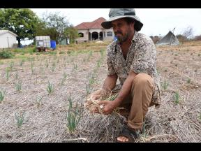 Ian Powell, a farmer in Flagaman, St Elizabeth uproots thousands of dollars of escallion that was affected by a severe drought that affected South St Elizabeth last year. Climate impacts include more extreme weather events – from droughts to intense hurr
