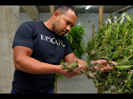 In this December 17, 2018 photo, Epican CEO Karibe McKenzie inspects a marijauana plant, code named Girl Scout Cookie, at the company's warehouse in Mavis Bank, St Andrew. Epican plans to grow its retail networks to five stores by the end of 2019.