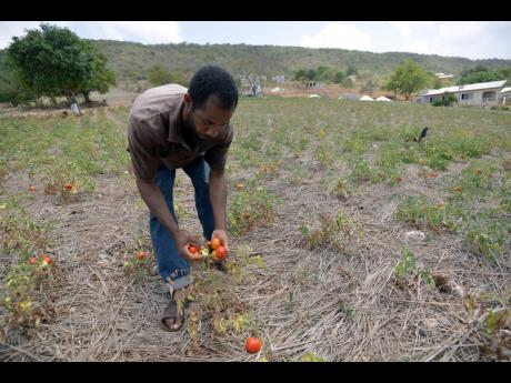 In this July 2014 photo, Clive Edwards shows The Gleaner a tomato field that he abandoned because of drought and his inability to purchase water for his crop.