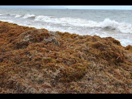 The seaweed (sargassum) is a type of open ocean brown algae. It is only found in the Atlantic Ocean and provides refuge for migratory species.