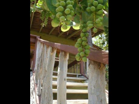 Sea grapes.
