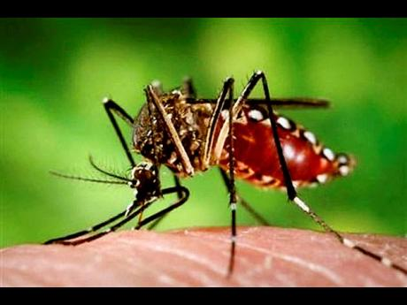 The female Aedes aegypti mosquito