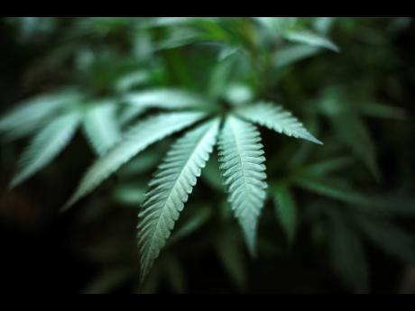 In this Aug 15, 2019 file photo, marijuana grows at an indoor cannabis farm in Gardena, California.