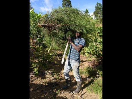 Euton Rodney carries a Christmas tree from his farm in Penlyne Castle to prepare for it to be sold in Kingston.