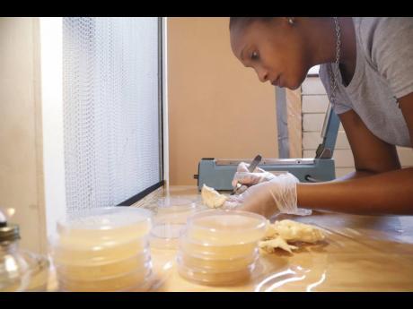 Shanika Sandcroft of MycoMeditations handles tissue culture from magic mushrooms.
