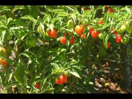 Pepper plants on a farm in St Mary.