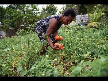 Elaline Simpson, a farmer in Melsam, St Elizabeth, picks tomatoes amid a downturn in the market because of the shutdown of the hotel sector as a result of the COVID-19 pandemic. The Government yesterday announced a $240-million programme to ease a glut of produce on the market.