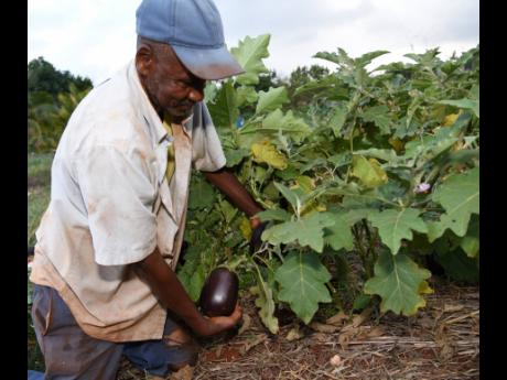 Orette Belinfante, a farmer from Melksham in South East St Elizabeth, checks egg plants that are ready for reaping on his farm.