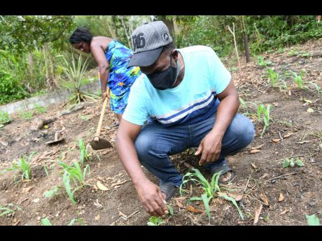 Michael Wilson and his partner, Christine Roberts, farming at their home in Harkers Hall, St Catherine, on Sunday. The parish is currently under lockdown.