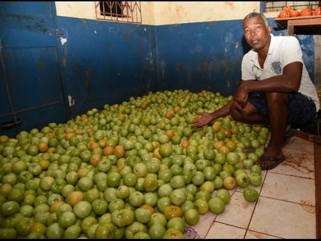 In this March 27, 2020 photo, farmer Linton Simpson of Melksham, St Elizabeth, shows thousands of dollars worth of tomatoes reaped but with no market because of the shutdown of the hotel sector due to the COVID-19 pandemic.