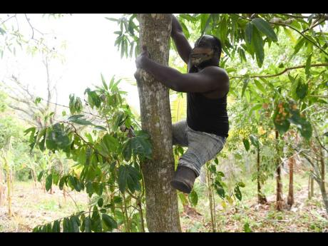Clarendon farmer Andrew Nelson, who was born without legs, shows off his tree-climbing skills in Simon, Clarendon, yesterday.