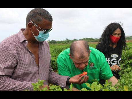 Farmer Gary Coulton (left) breaks open a ripe West Indian red pepper to allow Agriculture Minister Audley Shaw to get a good sniff duirng a tour of his farm on the Springffield Agro-Park in Clarendon. General manager of GK Foods & Services – Grace Agro P