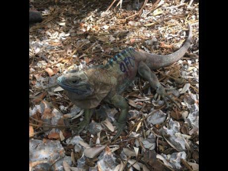 The Jamaican Iguana.