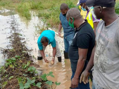 Minister of Agriculture and Fisheries Floyd Green (second right) watches as Terrence Samuels, agro-park manager, Plantation Garden River, examines a sweet potato in a waterlogged field in Ebony Agro-Park in Clarendon on Wednesday. Green toured several Clar