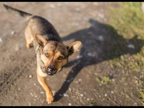 Jamaica's new dog-bite law will hold owners criminally responsible for attacks.