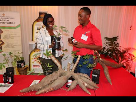 File  In this 2018 Gleaner photo, cassava is displayed in the foreground, while contract farmer Charmaine Blair-Stewart converses with Red Stripe Farm Operations Manager Eistein McLean in the background, during a forum on cassava ordinaised by Red Stripe,