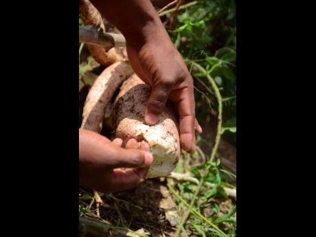 A cassava tuber being examined in the field.