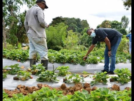 Minister of Agriculture and Fisheries Floyd Green (right),  looks at strawberries being cultivated by Cecil Robe on his farm in Rock Spring, south Trelawny, during a tour of the area on Friday.