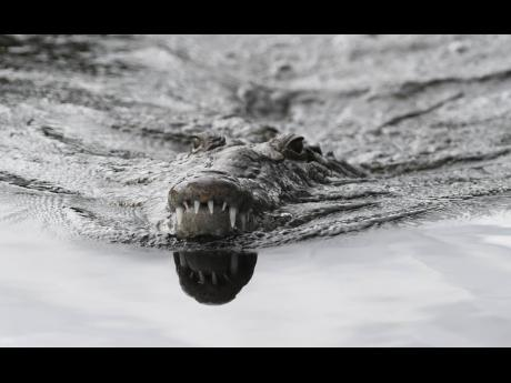 One of the many crocodiles which may be in danger because of poachers along the Black River.