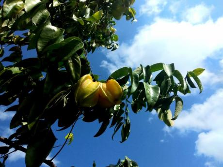 Star Fruits under the crisp blue skies. Photo taken in Westgate Hills, Montego Bay.