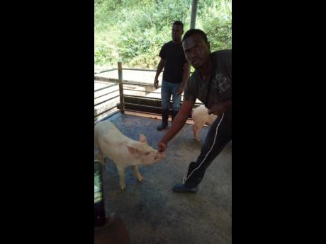 Rayon Gayle, a student of the College of Agriculture, Science and Education, securing a pig for treatment.