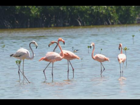 Flamingos at Parottee Great Morass.