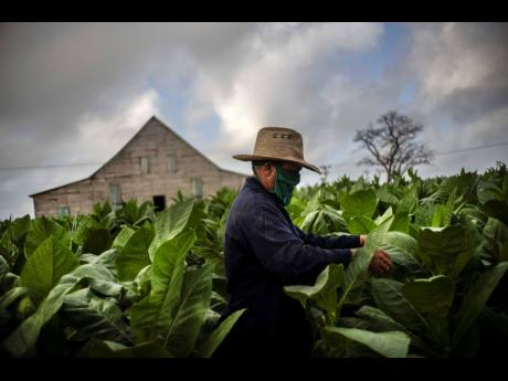 Wearing a mask amid the COVID-19 pandemic, Roberto Armas Valdes harvests tobacco leaves at the Martinez tobacco farm in the province of Pinar del Rio, Cuba, on March 1.