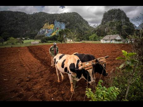 A farmer ploughs a field with oxen to plant yucca near the mountains in Viñales, Cuba, on March 1.