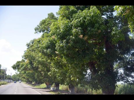 Mango trees lining the Innswood main road in St Catherine. Mango, coconut, breadfruit, ackee, etc, are important mainstay of rural Jamaica and are a critical part of the country's food-security system.