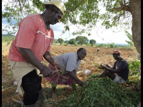 Sweet potato farmers preparing to plant in St Elizabeth.