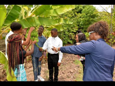 Managing Director of the Abilities Foundation Susan Hamilton (right) and some students tend to a bunch of bananas at the organisation's farm located at Constant Spring Road in St Andrew in this 2018 file photo.