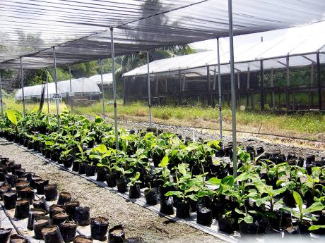 This file photo shows the FHIA nursery at the College of Agriculture, Science and Education.