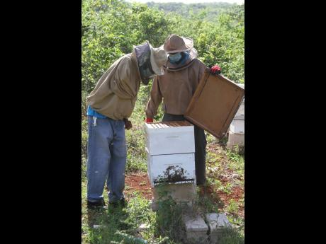 Alton Gregory (left), apiculture officer of the Harmons Valley Community Council Benevolent Society, and Leo-Garth Morrison, VP, demonstrate beekeeping techniques at on the 50-acre Manchester farm.