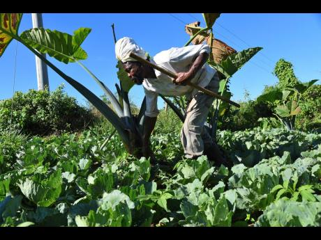 In this file photo, Norman Spence, a blind farmer, checks on cabbages at his farm in Kilmarnock, St Elizabeth. Experts are strongly recommending the Caribbean to work towards integrated agri-food systems to produce and provide healthy foods to all of its p