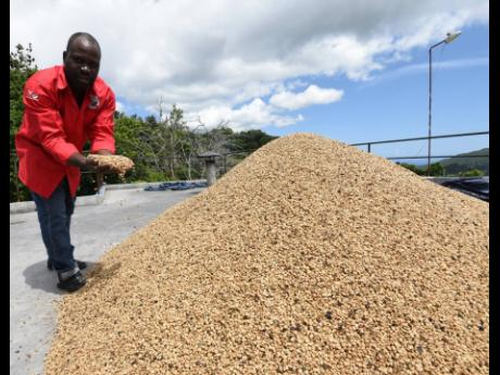 Authur McGowan, CEO, Trumpet Tree Coffee Factory explains the drying process of coffee beans before roasting.