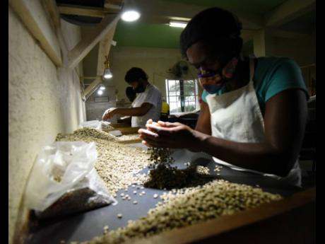 Workers sort the coffee beans by quality at Trumpet Tree Coffee Factory before roasting.