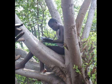 John-J Williams sitting on the tree, where he normally reads for school at his home in Schoolfield, St Elizabeth.