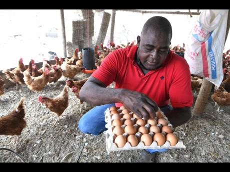 Rudolph Brown/Photographer Wayne Thomas, owner of WT Feed Store in Kitson Town, St Catherine, picking up eggs while speaking to the media about rising production costs.