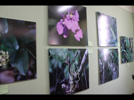 In this 2016 photograph, varieties of orchids are showcased at the Natural History Museum of Jamaica.