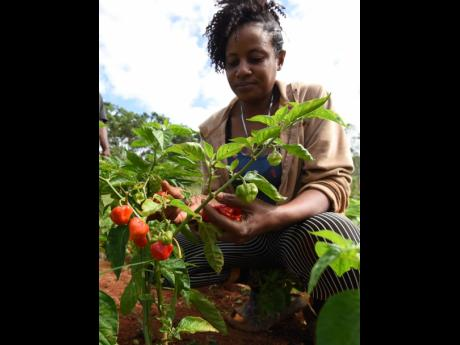 A female worker picks scotch bonnet pepper on Councillor Ian Bell's farm in Beecher Town, St Ann.