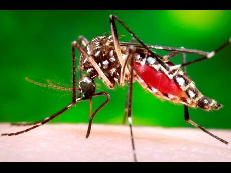 The Aedes aegypti mosquito that transmits dengue.