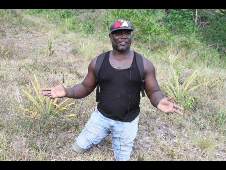 Andrew Nelson of Simon in Clarendon, is rising above his challenges and pursuing pineapple farming as a means of earning a living.