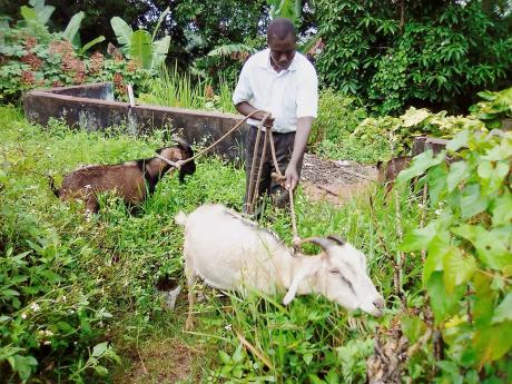 Aston Gayle tending to his goats in Springfield, St Catherine, on Saturday. He has been the victim of praedial larceny, losing six goats recently.