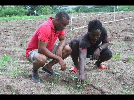 Detective Sergeant Shamel Russell (left) watches as William Thomas tends to the crops on his farm in Danks Savoy, Clarendon.