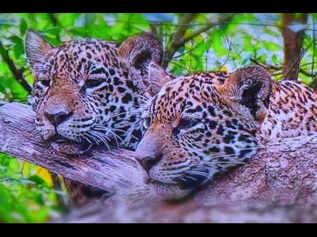 Moo Young captured the grace of the Panthera pardus.