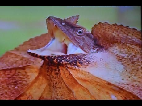 The noted photographer captured this Australian lizard from the comfort of his room.