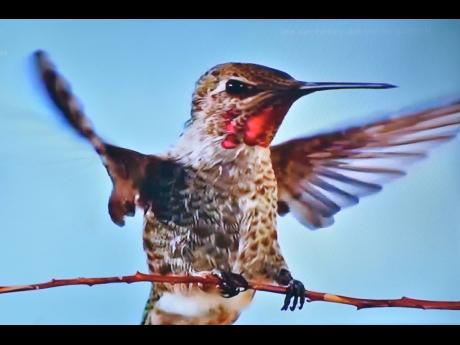 Moo Young said staying home hashelped him to discover a new source of images. He captured this hummingbird from his television screen.