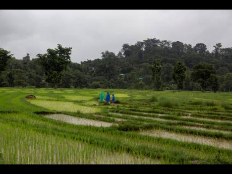 Indian farmers wear raincoats as they tend to their paddy fields in Dharmsala, India, Monday, July 19, 2021. India was one of the perceived rising stars in the Asian economic landscape.