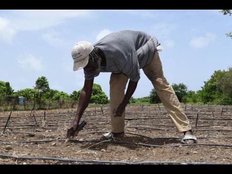 St Thomas farmer Gary McLean tends to his farm.