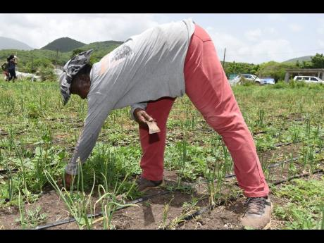 St Thomas farmer Lelieth McKenzie explains that with inconsistent water supply, many of her crops die.